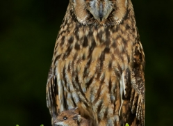 Long Eared Owl 2014-7copyright-photographers-on-safari-com