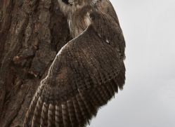 Scops Owl 2014-1copyright-photographers-on-safari-com