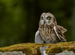 Short-Eared-Owl-copyright-photographers-on-safari-com-6549