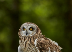 Short-Eared-Owl-copyright-photographers-on-safari-com-6550