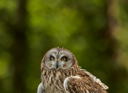 Short-Eared-Owl-copyright-photographers-on-safari-com-6551