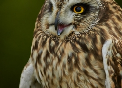 Short-Eared-Owl-copyright-photographers-on-safari-com-6552