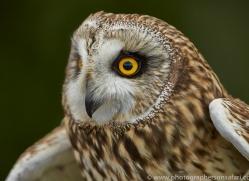 Short-Eared-Owl-copyright-photographers-on-safari-com-6553