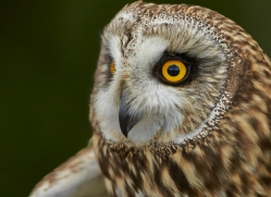 Short-Eared-Owl-copyright-photographers-on-safari-com-6554