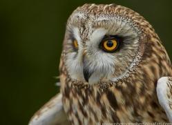 Short-Eared-Owl-copyright-photographers-on-safari-com-6555