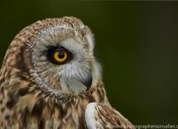 Short-Eared-Owl-copyright-photographers-on-safari-com-6556