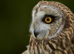 Short-Eared-Owl-copyright-photographers-on-safari-com-6557
