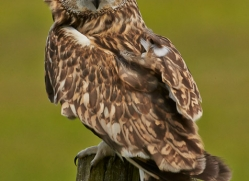 Short-Eared-Owl-copyright-photographers-on-safari-com-6558