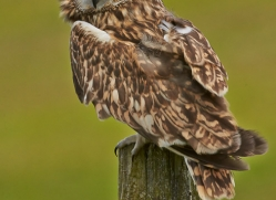 Short-Eared-Owl-copyright-photographers-on-safari-com-6559