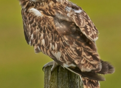 Short-Eared-Owl-copyright-photographers-on-safari-com-6560