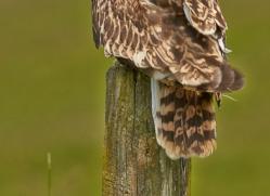 Short-Eared-Owl-copyright-photographers-on-safari-com-6563