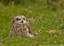 Short-Eared-Owl-copyright-photographers-on-safari-com-6565
