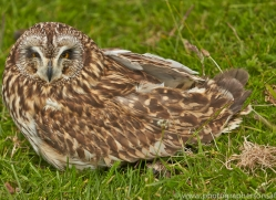 Short-Eared-Owl-copyright-photographers-on-safari-com-6566