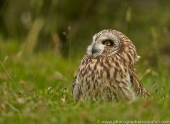 Short-Eared-Owl-copyright-photographers-on-safari-com-6567
