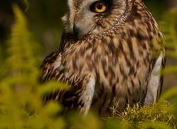 Short-Eared-Owl-copyright-photographers-on-safari-com-6568