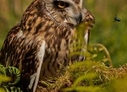 Short-Eared-Owl-copyright-photographers-on-safari-com-6569