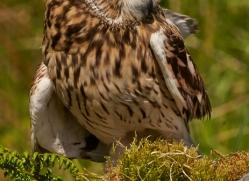 Short-Eared-Owl-copyright-photographers-on-safari-com-6570
