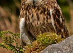 Short-Eared-Owl-copyright-photographers-on-safari-com-6571
