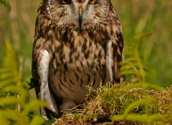 Short-Eared-Owl-copyright-photographers-on-safari-com-6572