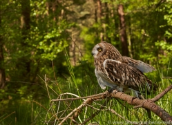 Short-Eared-Owl-copyright-photographers-on-safari-com-6573