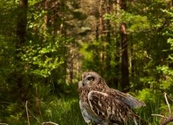 Short-Eared-Owl-copyright-photographers-on-safari-com-6574
