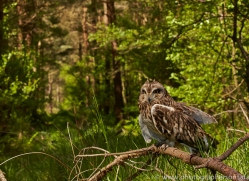 Short-Eared-Owl-copyright-photographers-on-safari-com-6575