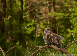 Short-Eared-Owl-copyright-photographers-on-safari-com-6576