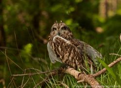 Short-Eared-Owl-copyright-photographers-on-safari-com-6578