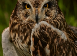 Short-Eared-Owl-copyright-photographers-on-safari-com-6579