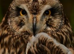 Short-Eared-Owl-copyright-photographers-on-safari-com-6580