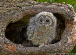 Tawny Owl 2014-2copyright-photographers-on-safari-com