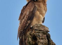 asian-brown-wood-owl-copyright-photographers-on-safari-com-8505