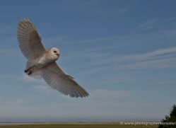 barn-owl-4140-northumberland-copyright-photographers-on-safari-com