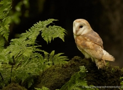 barn-owl-4142-northumberland-copyright-photographers-on-safari-com