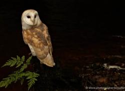 barn-owl-4153-northumberland-copyright-photographers-on-safari-com