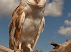barn-owl-4156-northumberland-copyright-photographers-on-safari-com