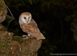 barn-owl-4160-northumberland-copyright-photographers-on-safari-com