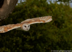 barn-owl-copyright-photographers-on-safari-com-8460