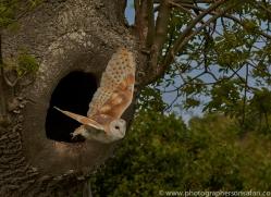 barn-owl-copyright-photographers-on-safari-com-8461