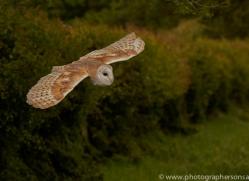 barn-owl-copyright-photographers-on-safari-com-8462