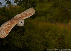 barn-owl-copyright-photographers-on-safari-com-8463