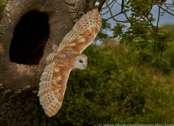 barn-owl-copyright-photographers-on-safari-com-8464