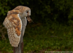 barn-owl-copyright-photographers-on-safari-com-8465