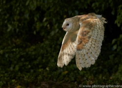 barn-owl-copyright-photographers-on-safari-com-8467