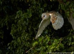 barn-owl-copyright-photographers-on-safari-com-8468
