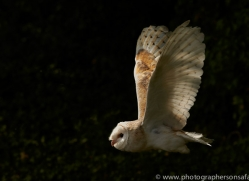 barn-owl-copyright-photographers-on-safari-com-8469