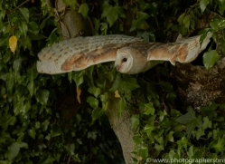 barn-owl-copyright-photographers-on-safari-com-8470