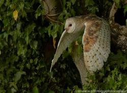 barn-owl-copyright-photographers-on-safari-com-8471