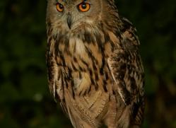 barn-owl-copyright-photographers-on-safari-com-8472