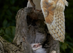 barn-owl-copyright-photographers-on-safari-com-8473